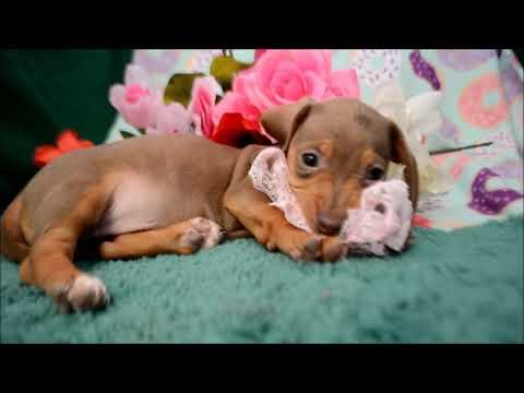 Cinnamon AKC Female Isabelle Tan Dapple SH Miniature Dachshund Puppy for sale!