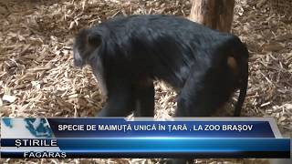 Specie de maimuta unica in tara , la Zoo Brasov