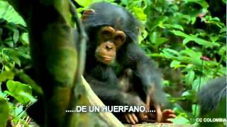 Chimpanzee Chimpanc trailer 2012 subtitulado HD