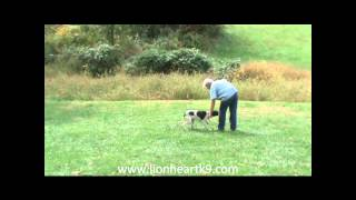 English Pointer Puppy Transitioning To Off Leash Obedience