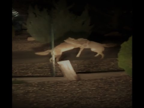 Most Intense Coyote Fight!!!