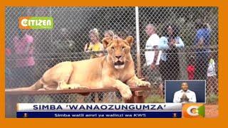 Walinzi wa Mbuga wawasiliana na Simba