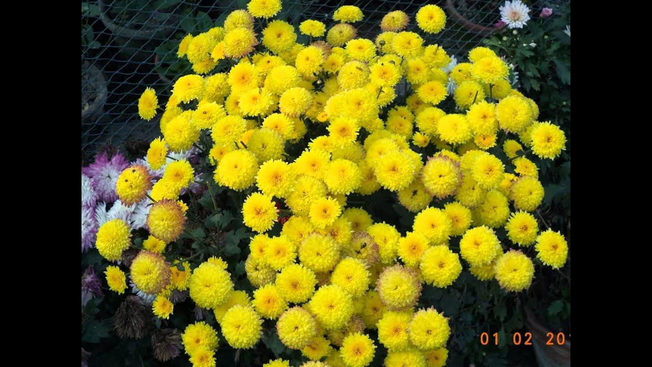 Yellow Chrysanthemums Chandramullicaflower Nursery In Horticulture