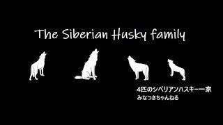 【シベリアンハスキーちゃんねる】はこちら http://www.youtube.com/cha...