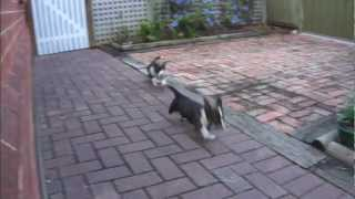 Cute Puppies Fos And Ebo Running (cardigan Welsh Corgi's; 8 Weeks Old, 2nd Day In New Home)