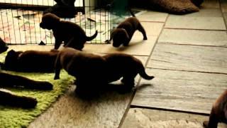 Kelpie Pups From Kiwi En Simon 19 Days Old