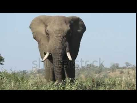 Cute Large Elephant Bull Flapping His Ears To Stay Cool Stock Footage