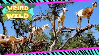 These Goats Climb Trees Like It's Their Job (Because It Is) | WEIRD IN THE WILD
