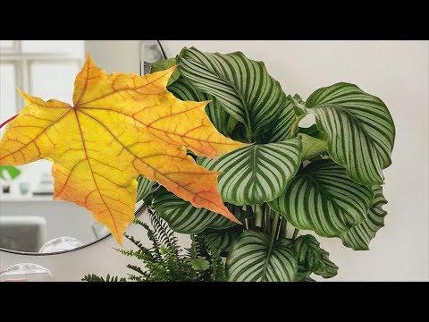 Осенние хлопоты с комнатными растениями.