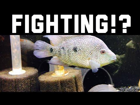Jack Dempsey Fish Fighting, Chasing? Predator FISH Guide