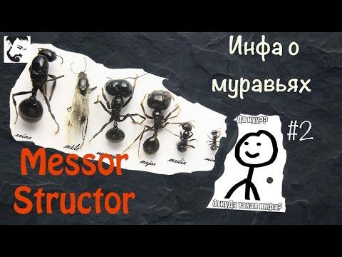 О муравьях Messor Structor #2