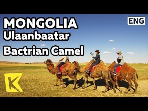 【K】Mongolia Travel-Ulaanbaatar[몽골 여행-울란바토르]사막의 배, 쌍봉낙타/Bactrian camel/Two humped/Desert/Candy