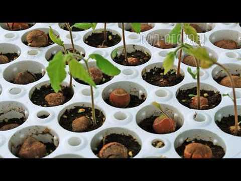 Вопрос: Как посадить саженец лесного ореха?