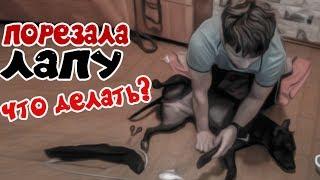 фаина питбуль!!! порезала лапу до мяса, делали перевязку.