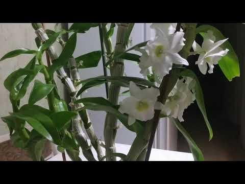 Уход за орхидеями.Почему не цветет Дендробиум Нобиле?