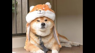 Best Funny Shiba Inu Video Compilation 2019