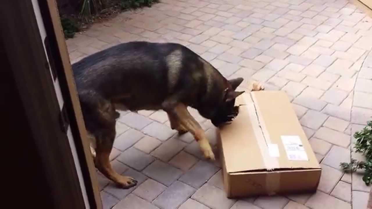 My Angry German Shepherd Destroys a UPS package