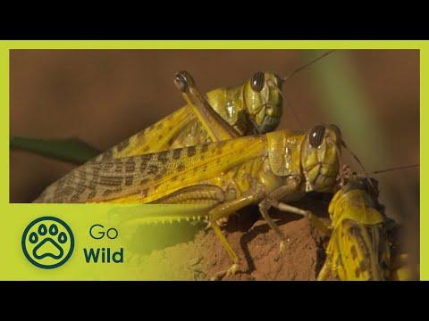 Locust Invasion - The Secrets of Nature
