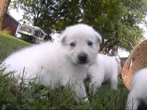 white german shepherd puppies for sale 2012 02 17 white german shepherd puppies for sale 2084