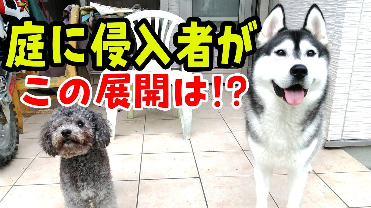 敷地内に侵入者が来た時の犬の反応に笑った ハスキー犬と保護犬トイプードル