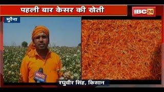 Morena News MP: पहली बार केसर की खेती | बंपर फसल होने से किसानों में खुशी की लहर