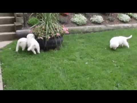 Maremma Sheep Dog Puppies For Sale
