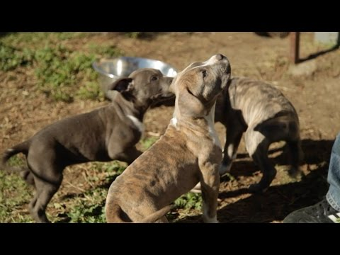 FINDING THE BEST HOME FOR XL PITBULL PUPPY DOGS