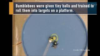 Bees Learn to Roll Balls, Earn Rewards | Video
