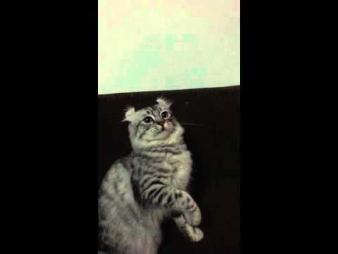 American curl cat : Guzzmi play time