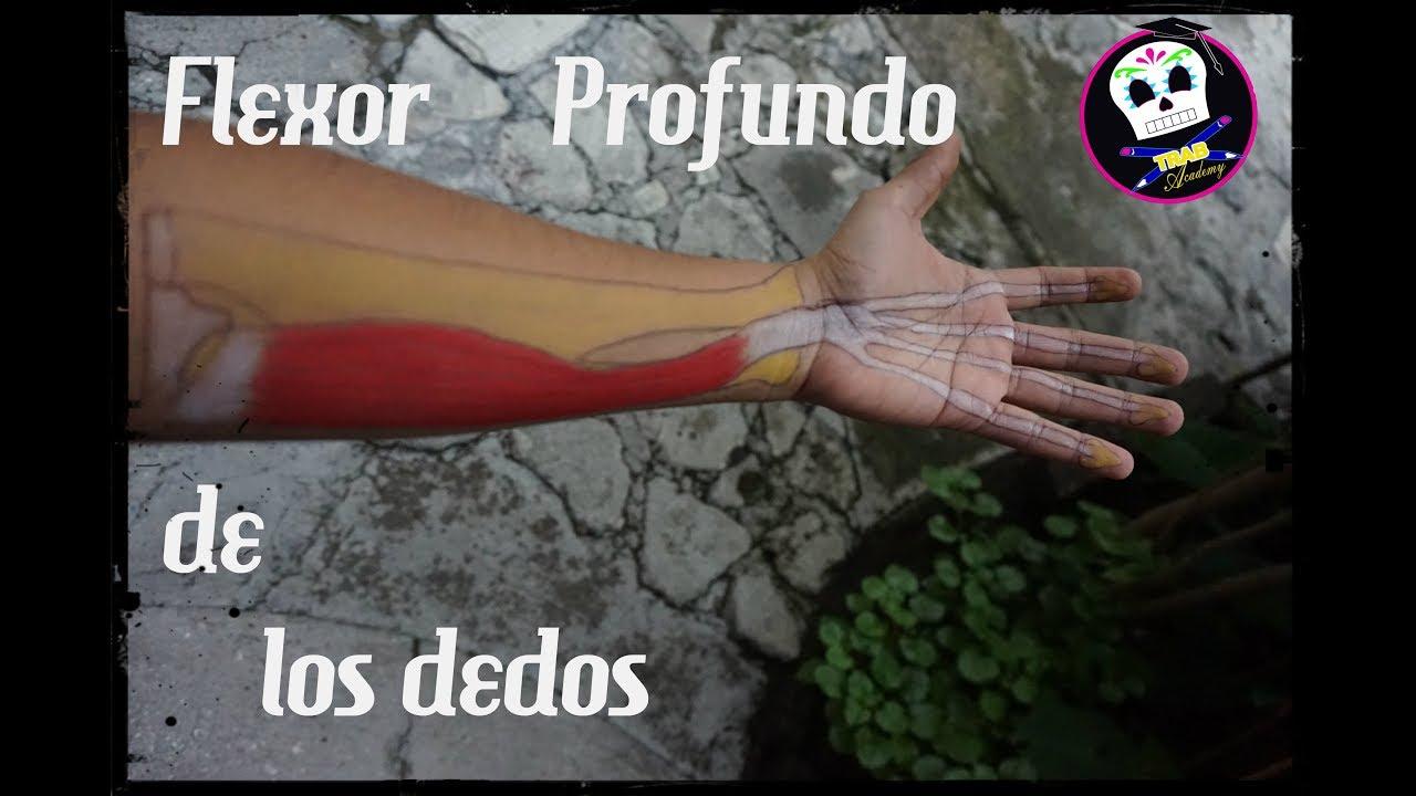 Flexor Profundo de los Dedos /Anatomía - YouTube