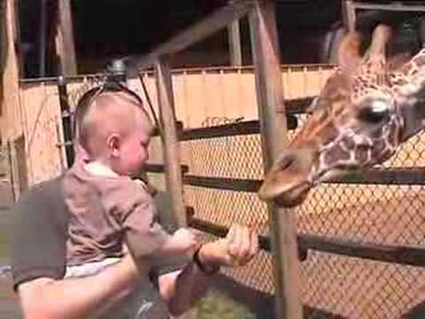 Thumbnail: Hand feeding giraffe! Long tongue!