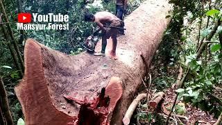 Penebangan Pohon Ketika Masih Berdiri Hasilnya Sempurna, Tapi Diakhir Pemotongan Bar-nya Kejepit
