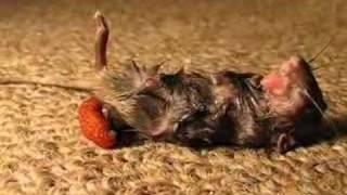 Mouse with parasite & eyeball ( botfly - larva )