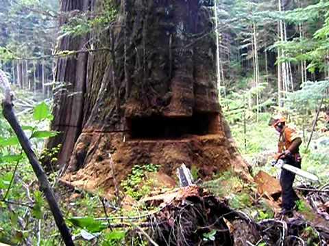 saw cut redwood chainsaw