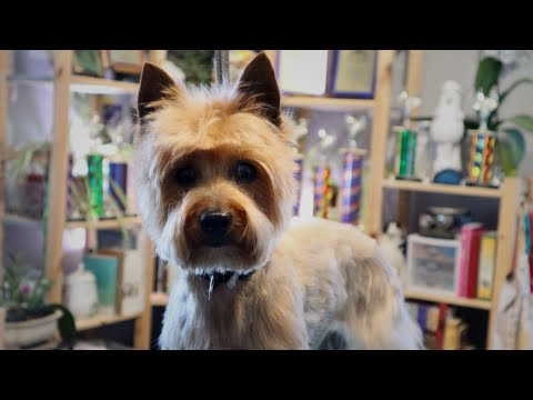 Old Ladies Can Feel Good Too | Master Groomer grooms a silky terrier in a cute pet trim
