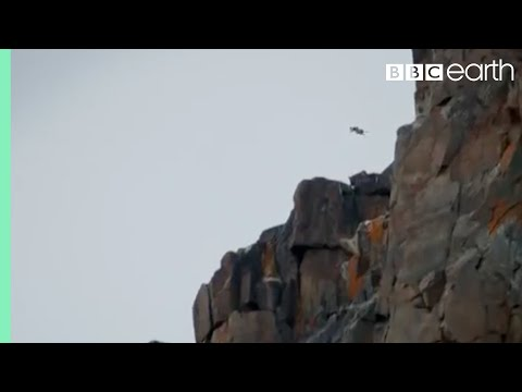 Chicks Jump Off Cliff - Life Story - BBC