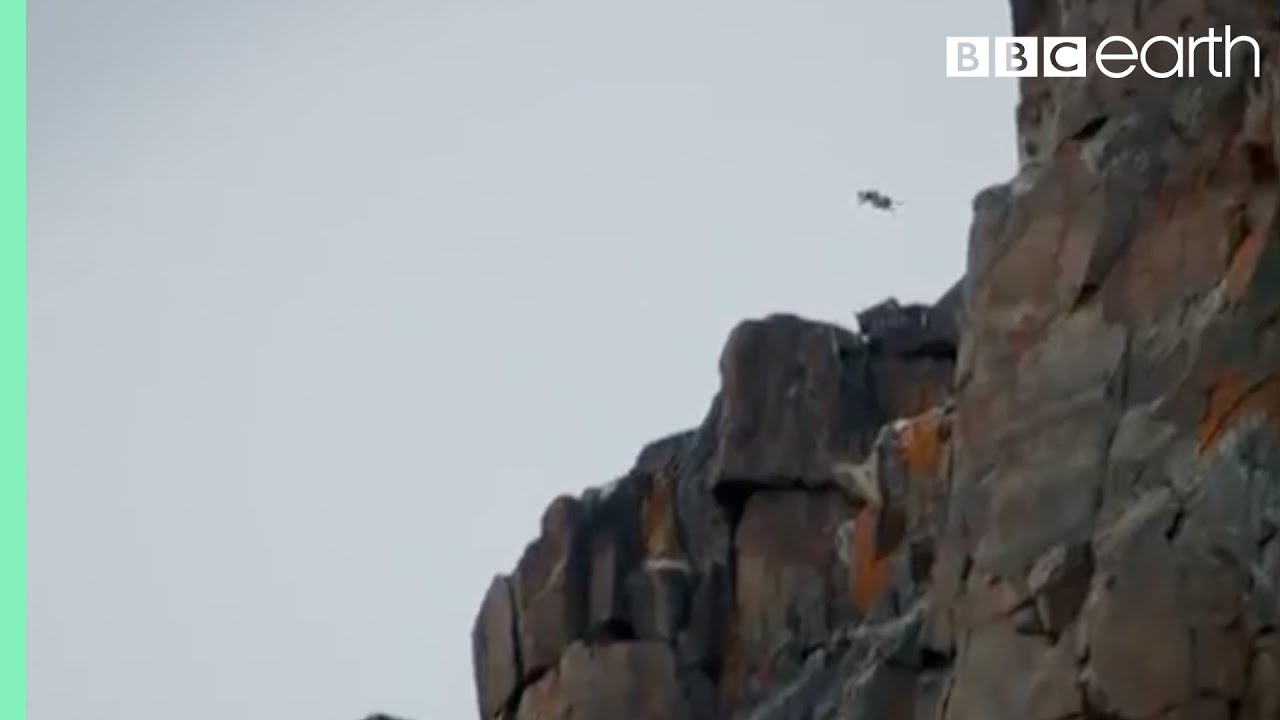 Chicks Jump Off Cliff Life Story Bbc Youtube