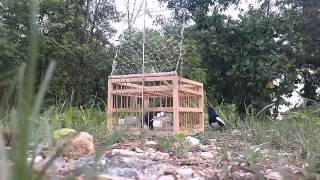 Download Video Jebak burung kacer mantap bro MP3 3GP MP4