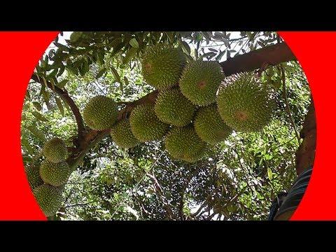 Teknik Sambung Samping Pohon Durian Besar