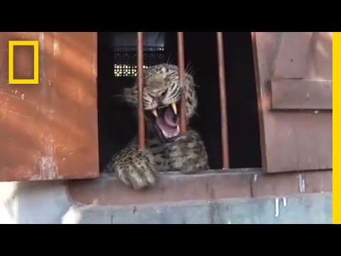Leopard Mauls Four People in Schoolhouse | National Geographic