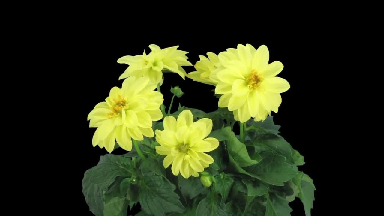 Yellow dahlia flowers in pot stock video youtube yellow dahlia flowers in pot stock video izmirmasajfo