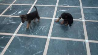 German Shepherd Puppies 1 Month Old