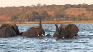Elephants Swim Across a River and Walk Off Into the Sunset