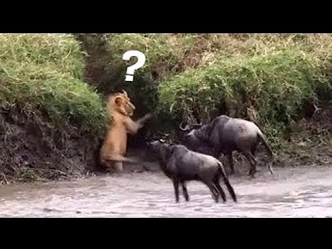 The survival instinct of the wildebeest when confronted with crocodile, lion, Leopard and Wild Dogs