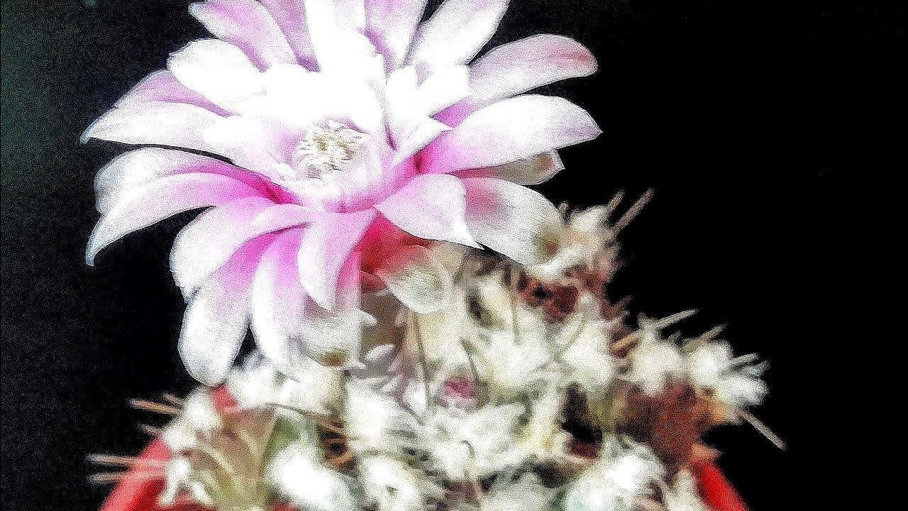 Цветение Кактусов. Гимнокалициум и эпифиллум снова цветут!!! // Детка гимнокалициума через два года