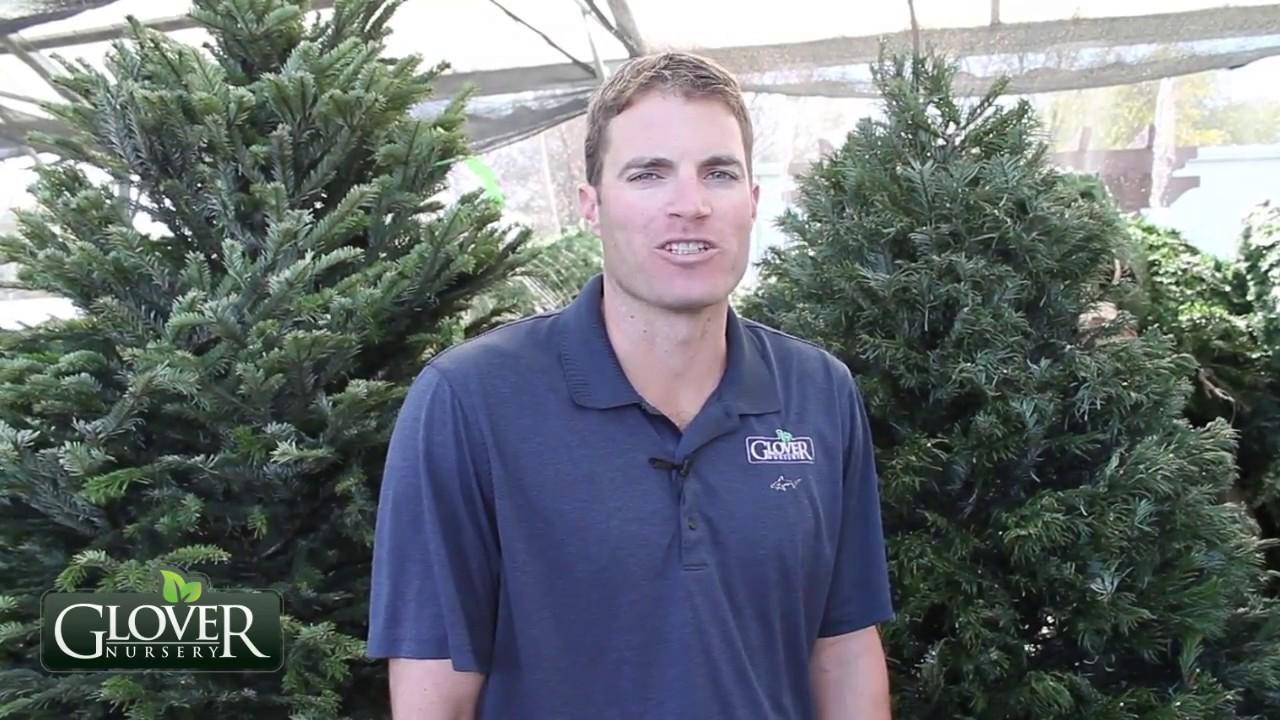Glover Nursery Christmas Tree Tips