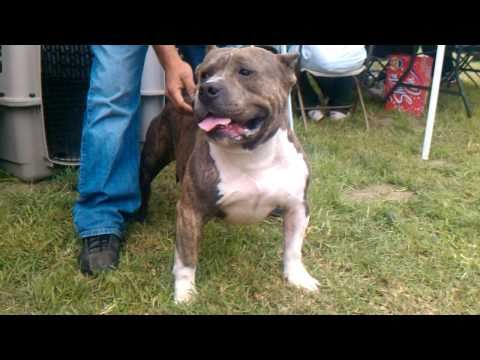 Blue Edge Kennels at the Super Bully Show 11-06-2010 HD
