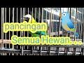 Masteran Segala Jenis Burung Di Jamin Jitu  Mp3 - Mp4 Download