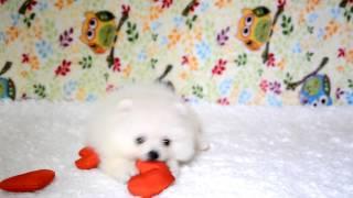 Белый померанский шпиц мини девочка elitedoggy.com