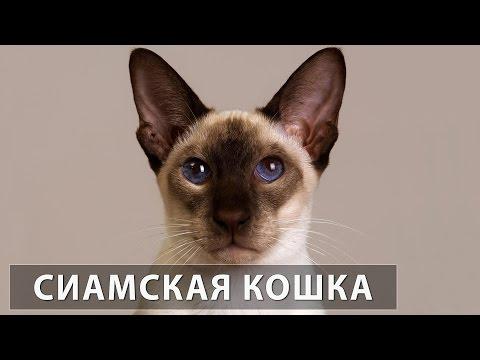 Вопрос: Почему считается, что голубые глаза кошек на самом деле бесцветны?